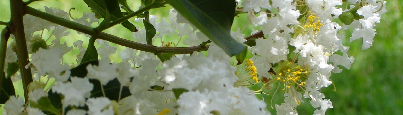 White Tree
