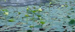 Lily Pads 2