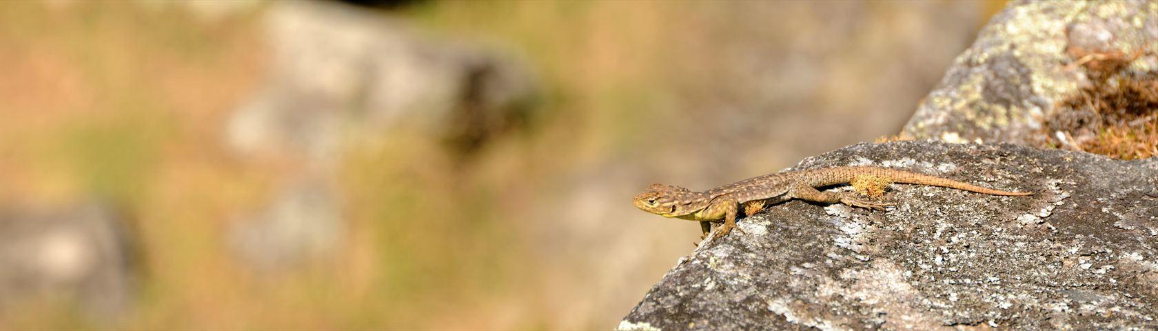 Sunning Lizard