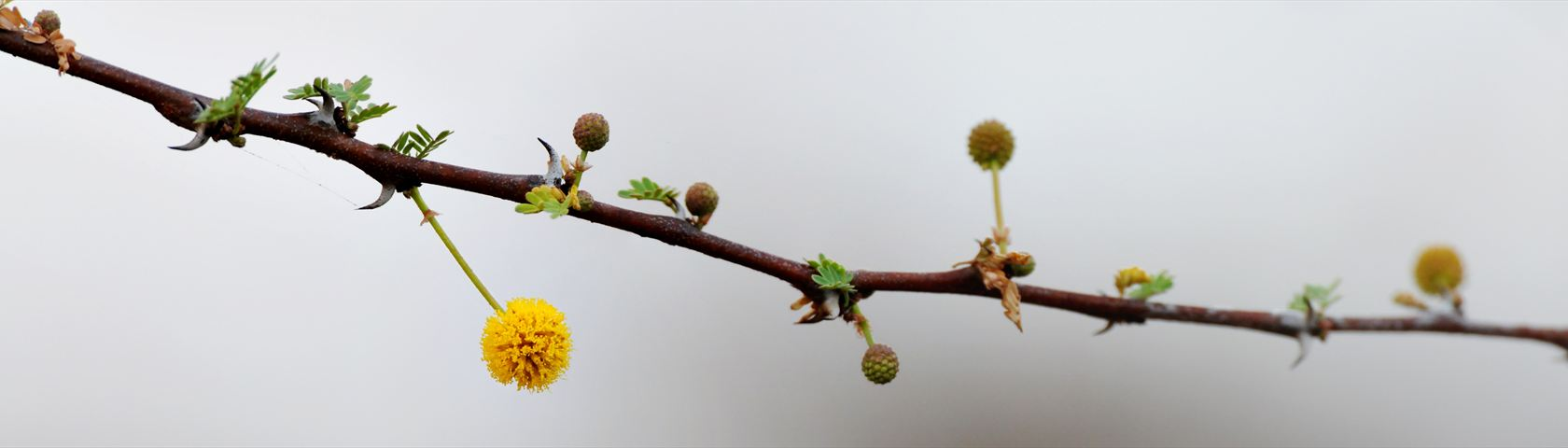 Camel Thorn Branch