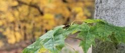 Leaf-Dweller