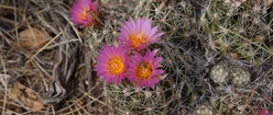 Cactus Flower In Grand Canyon