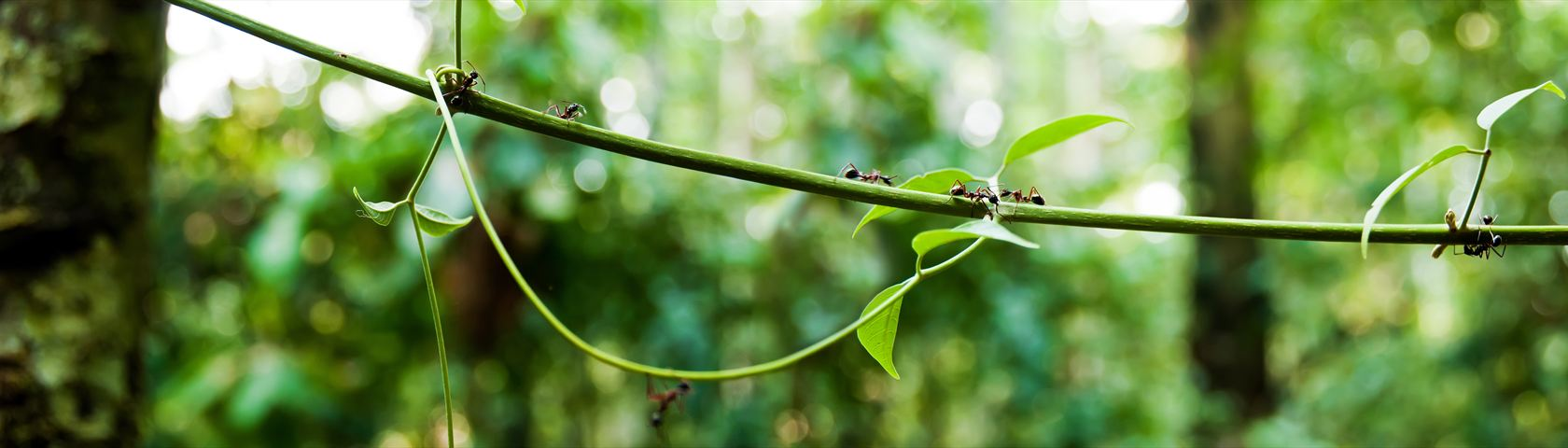 Ants on a Vine
