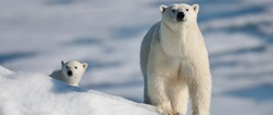 Baby Polar Bear & His Dad