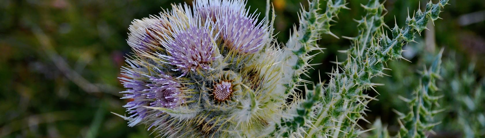 Alpine Thistle