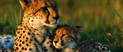 Mom and Baby Cheetah Pyramid