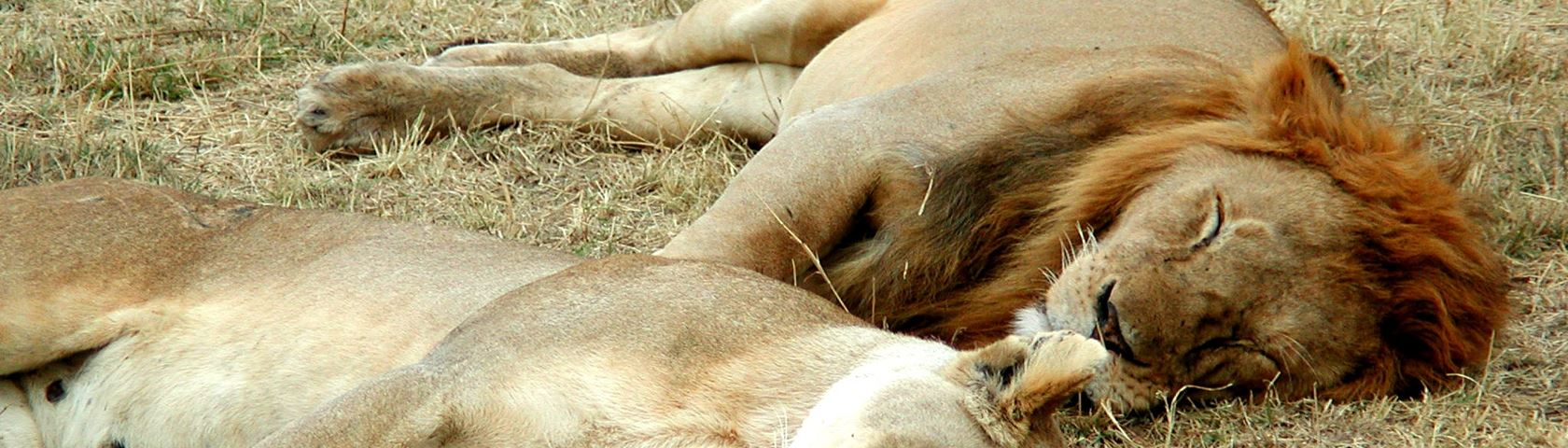 Lioin and Lioness Sleeping