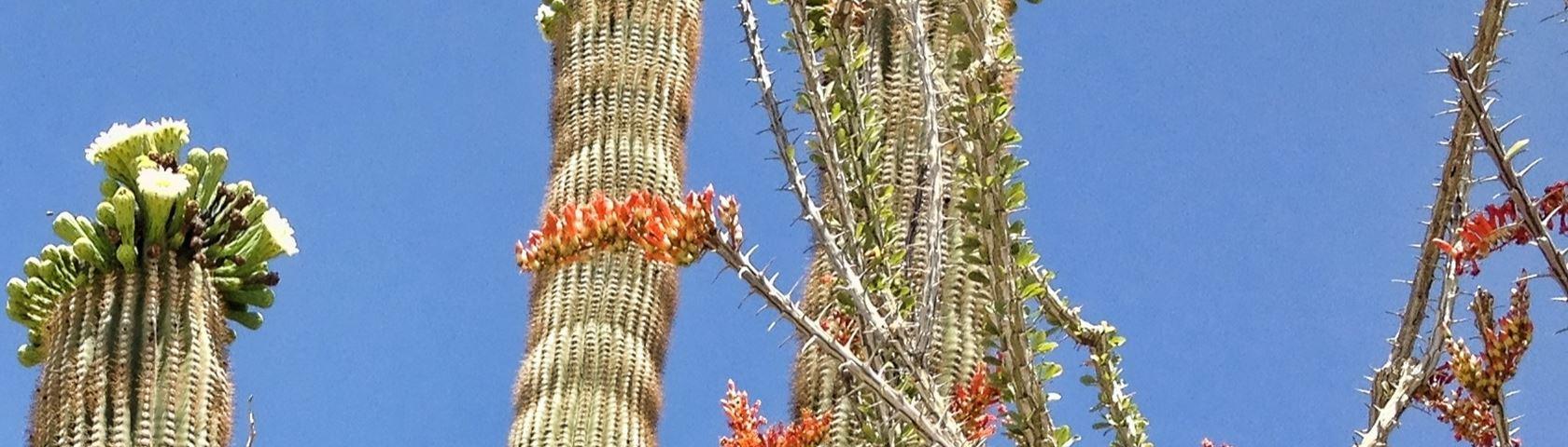 Cactus Skeleton