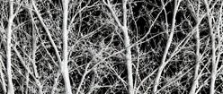Naked Silver Oak