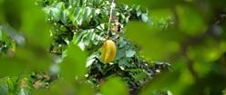 Blimbing Fruit