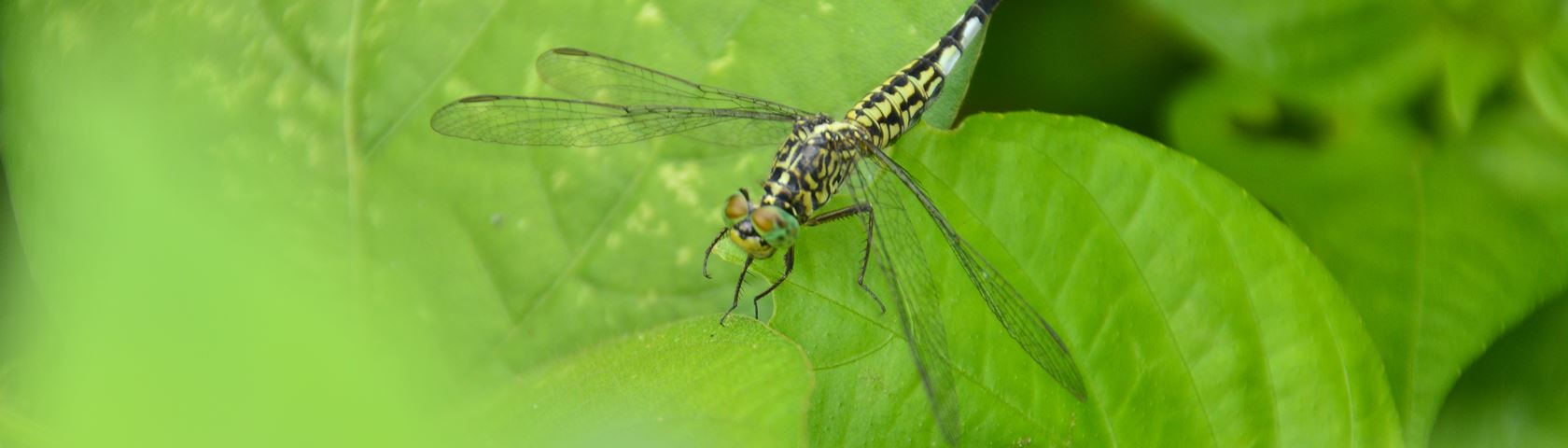 Dragonfly on Green Leaves