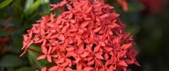 Madu Flower