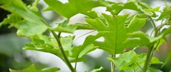 Rimbang Leaf