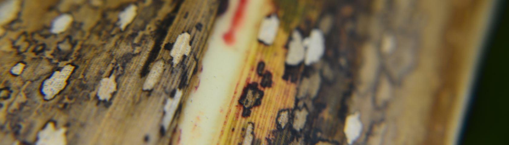 Dried Sugarcane Leaves