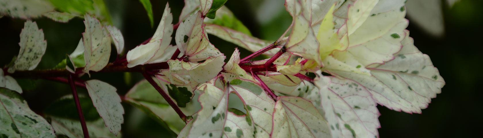 White Leaf Spots