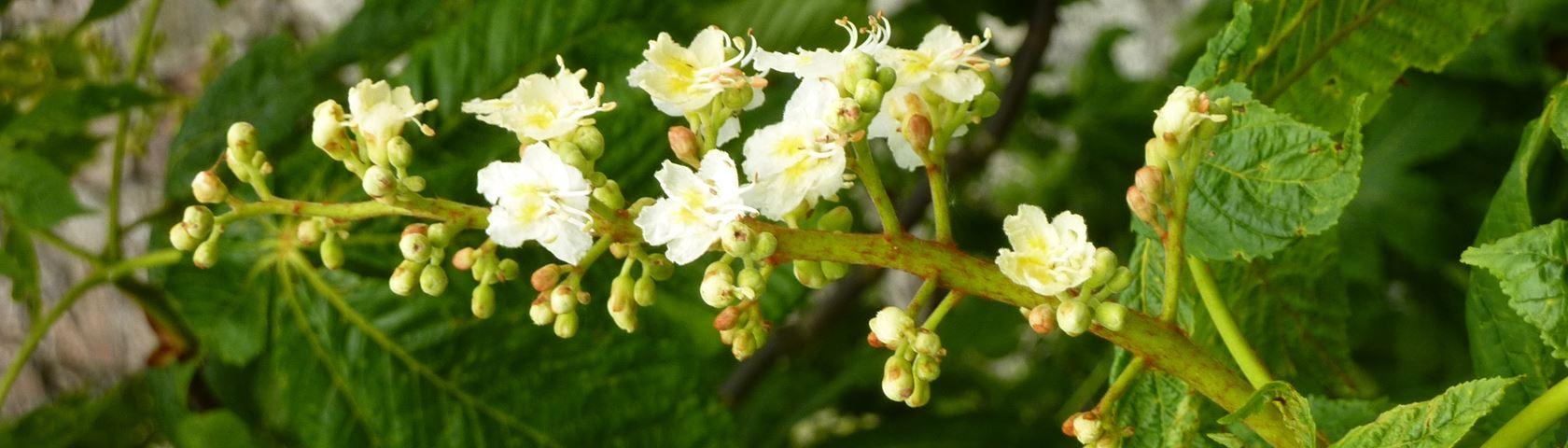 Horse-Chestnut Flowers