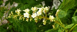 Horse-Chestnut Flowers