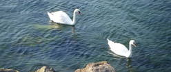 Swans on the Black Sea 2012