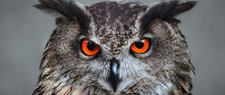 Orange Eyed Owl