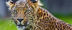 African Leopard ( panthera pardus)