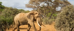Elephant Cow Africa