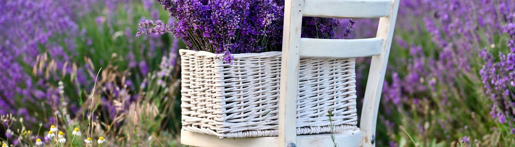 Fresh Lavender Morning