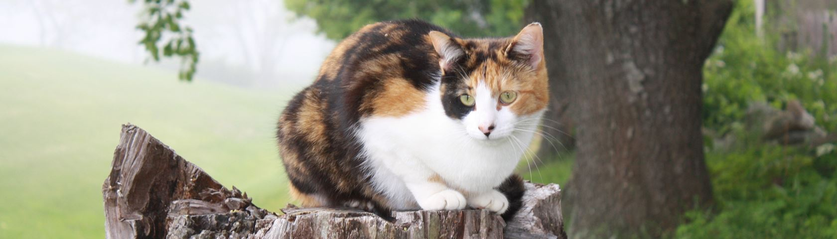 Calico Kitty on a Treestump