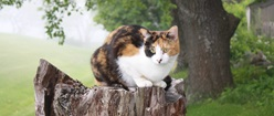 Calico Kitty on a Treestump