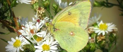 Female Orange Sulphur in Wild Asters
