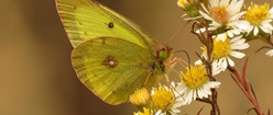 Male Orange Sulphur in Wild Asters