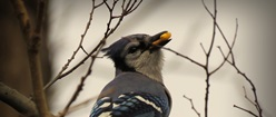 Blue Jay with Berries