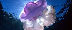 Violet Medusa