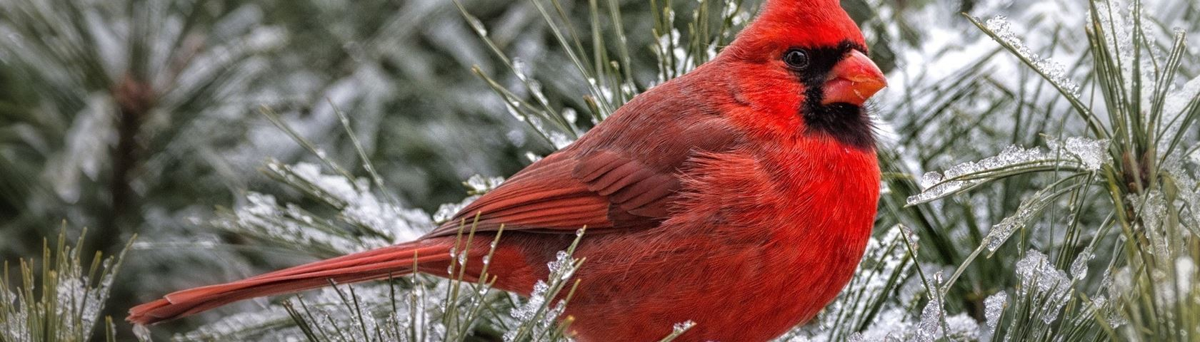 Red Cardinal Male