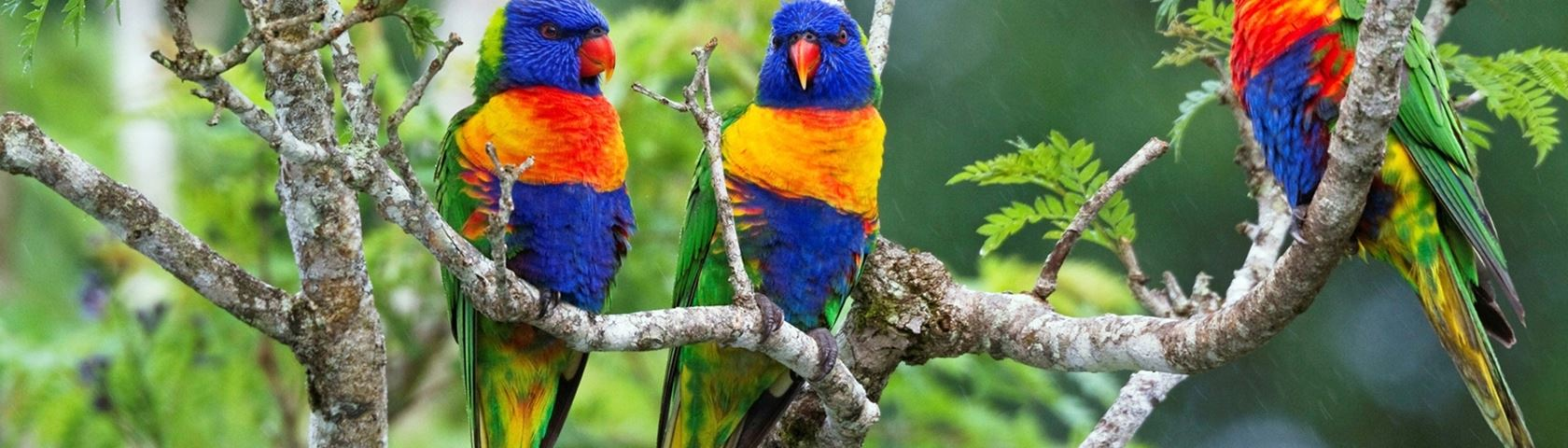 Rainbow Lorakeets