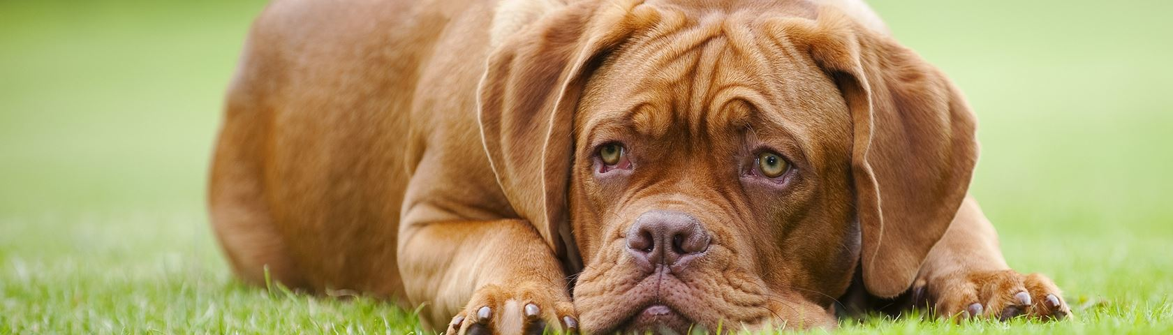 Dogue de Bordeaux Youngster