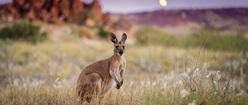 Kangaroo at dusk