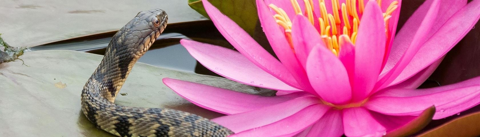 The Serpent and the Waterlily