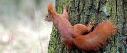 Squirrel Capers