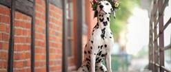 Dalmatian Princess