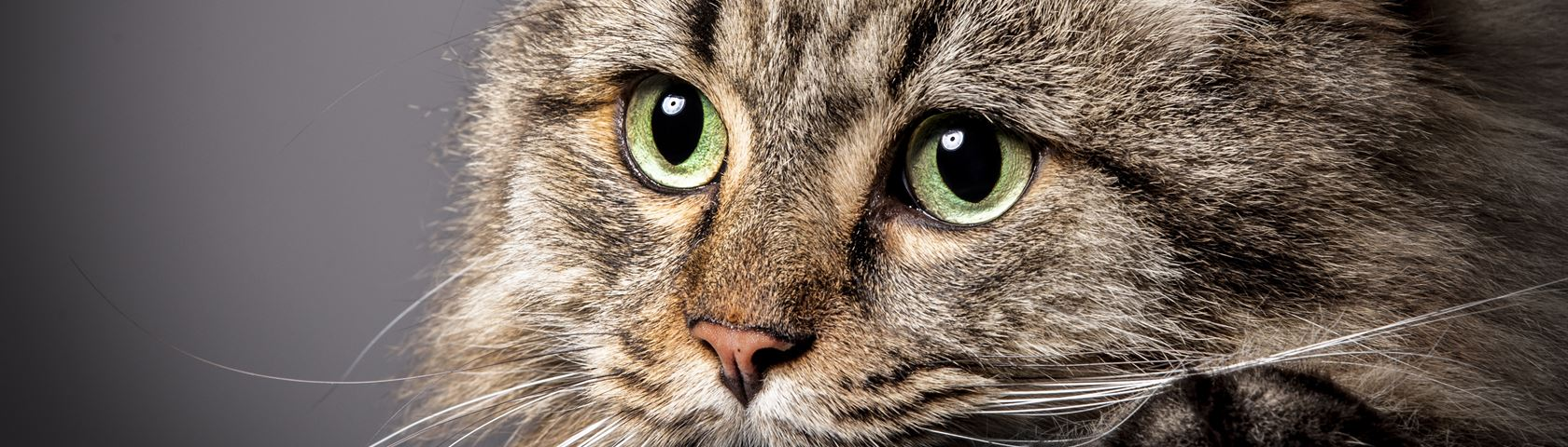 Portrait of a Tabby