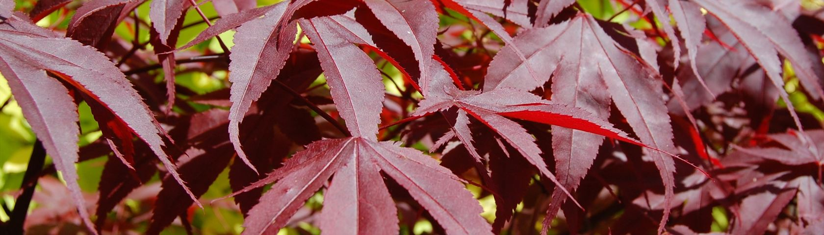 Red Acer