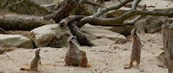 Meerkat Skywatch