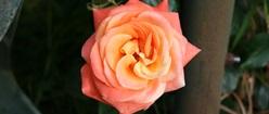 Gary's Rose