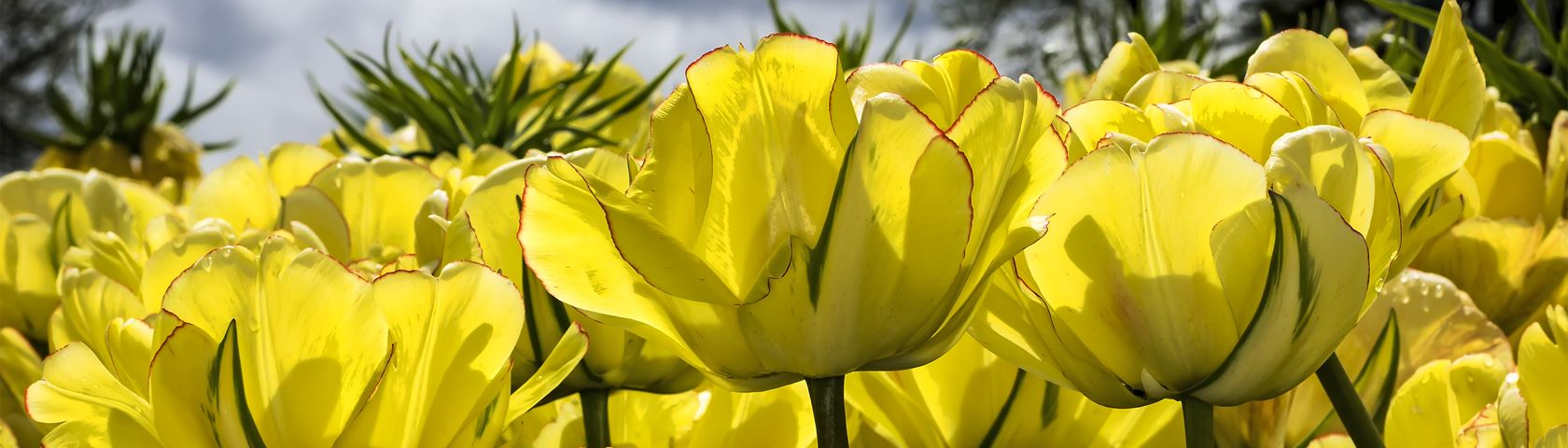 Yellow Tulips Backlit