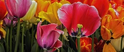 Multi-Coloured Tulips