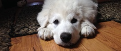 Pyr Pup