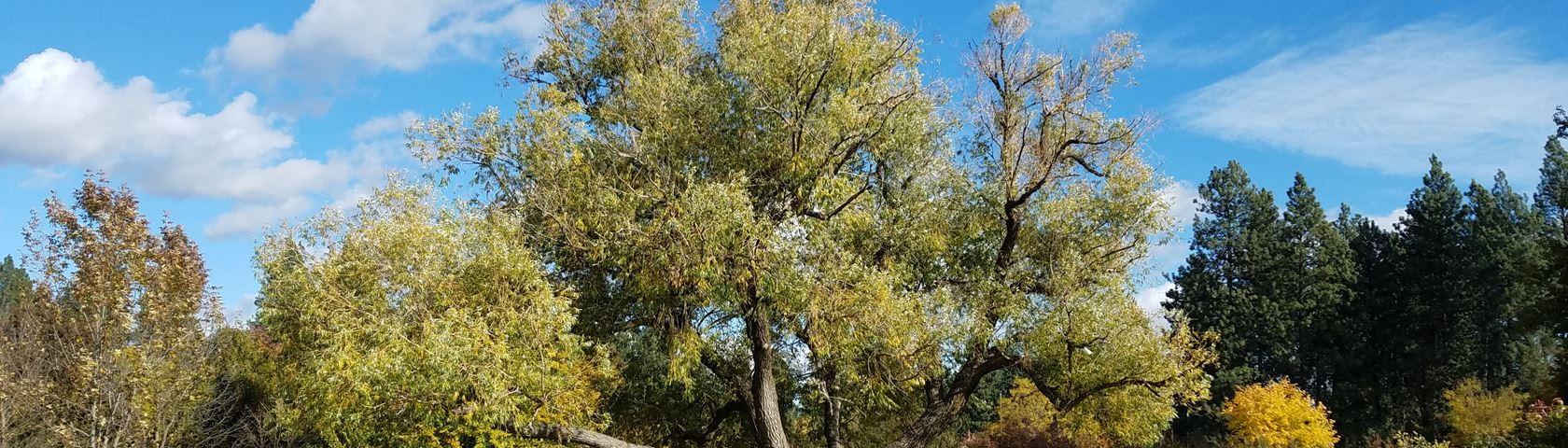Fall White Willow