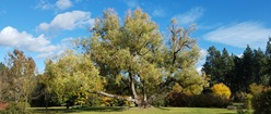 Fall White Willow