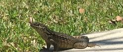 Alert Lizard