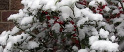 Snow Covered Holly Bushes